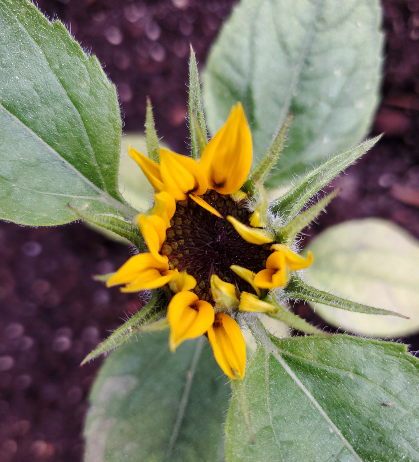 The sunflower is beginning to spread its flower, possibly a little early in spring