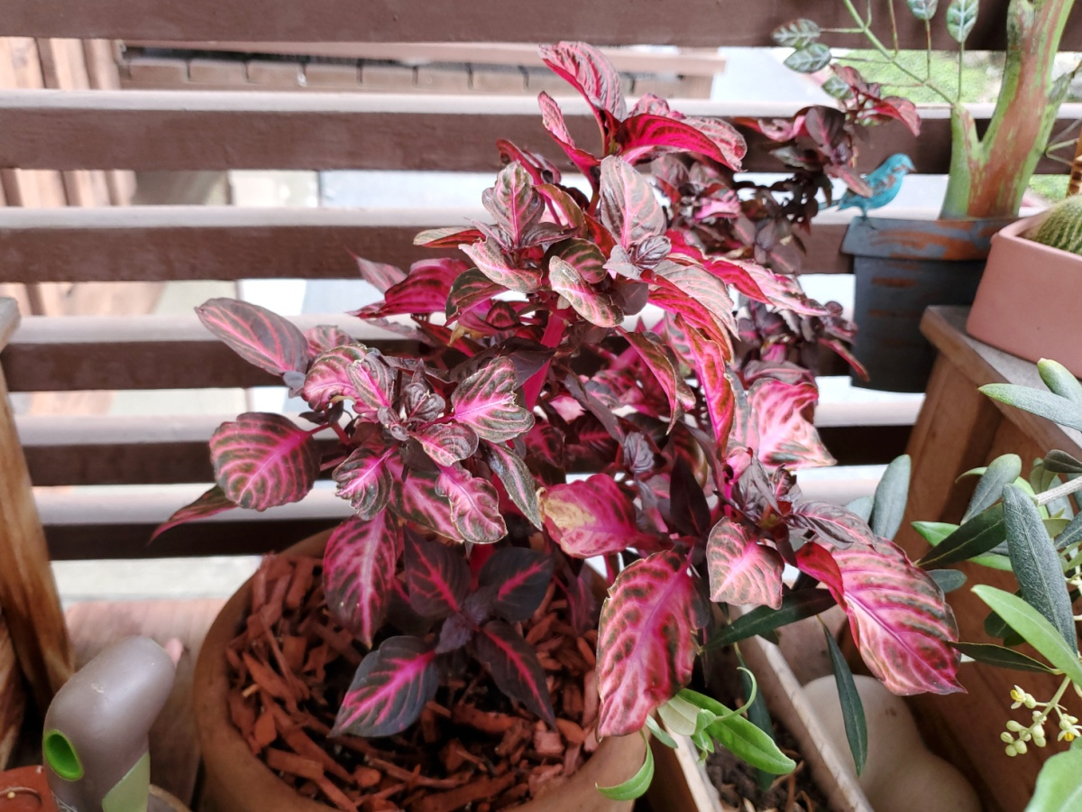 The bloodless is growing thickly after its last transplant