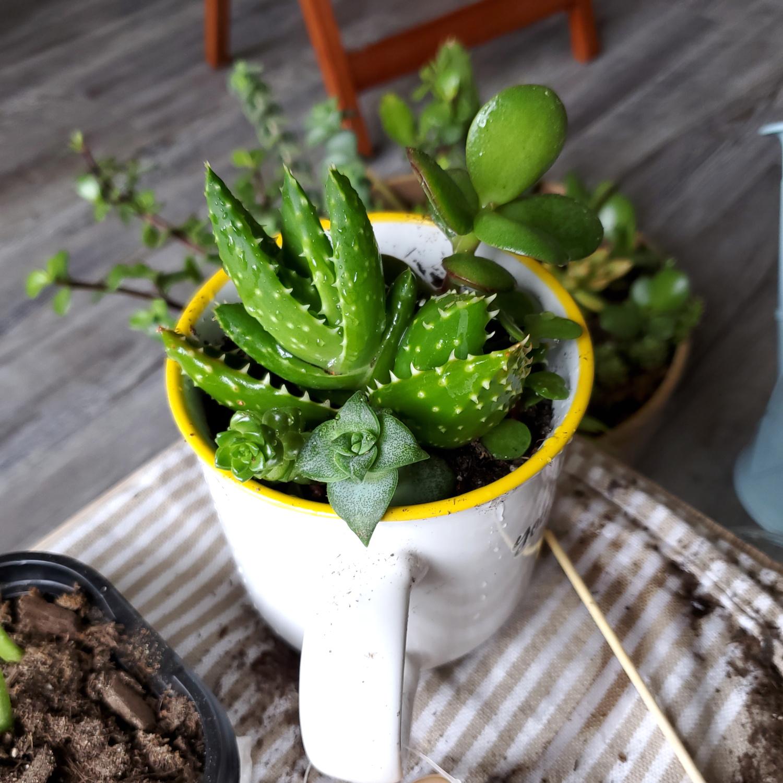 Soap aloe, Crassula perforata, Sedum, and Crassula Jade Plant