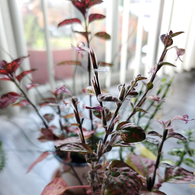 The polka dot plant that never stops flowering