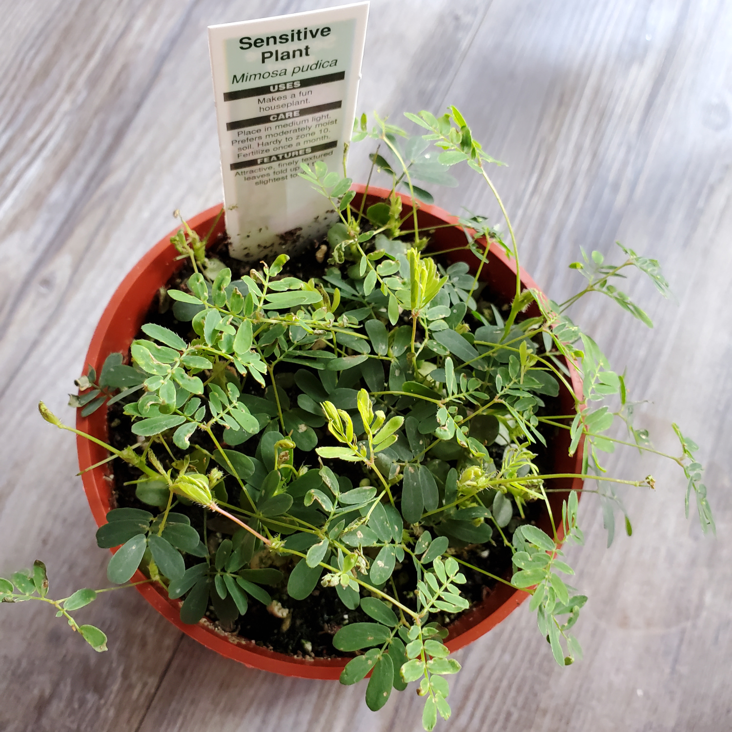 a thin, small-leaved plant grows in a short pot