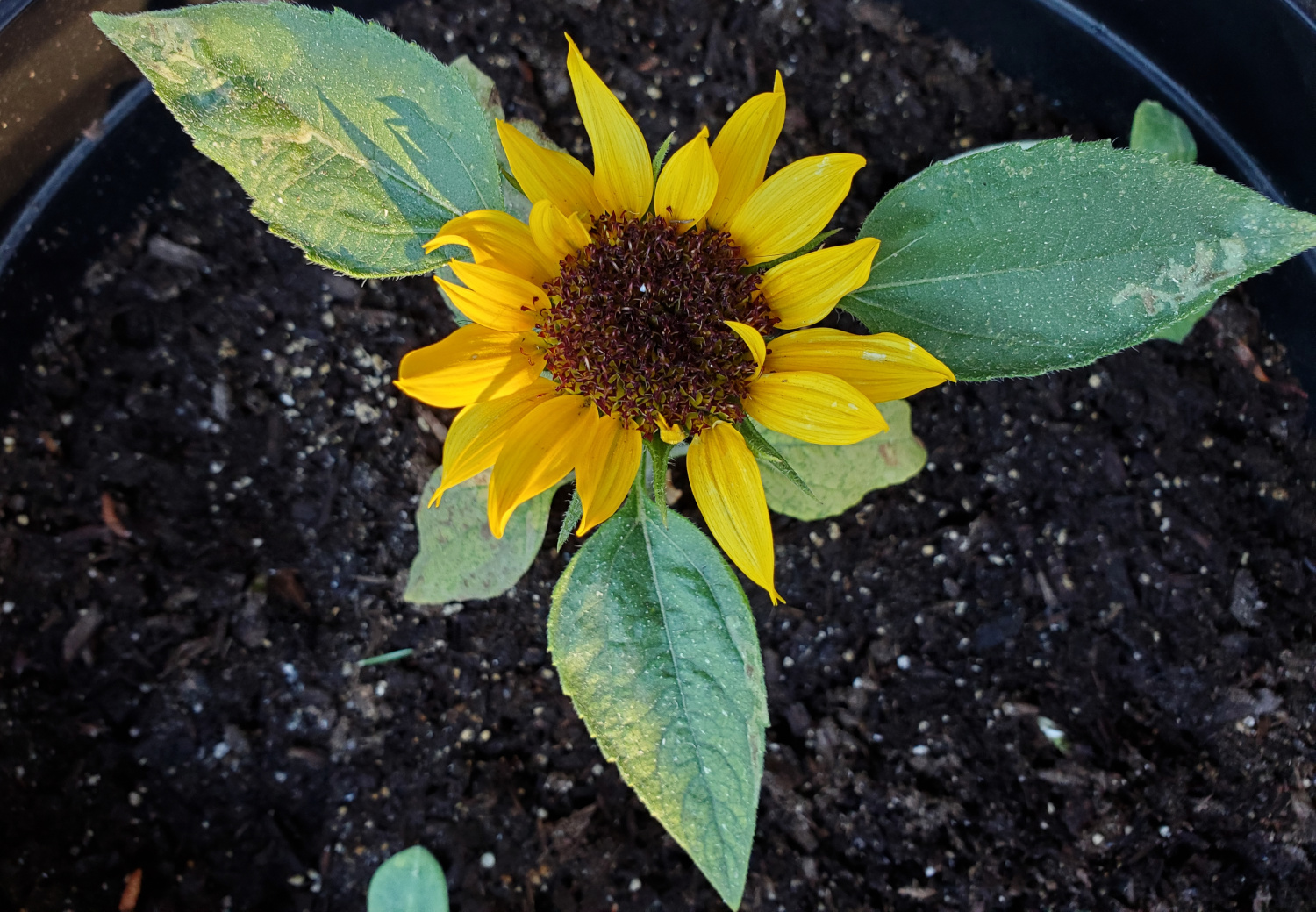 The sunflower has stopped growing in height, but still shows off its one bright bloom