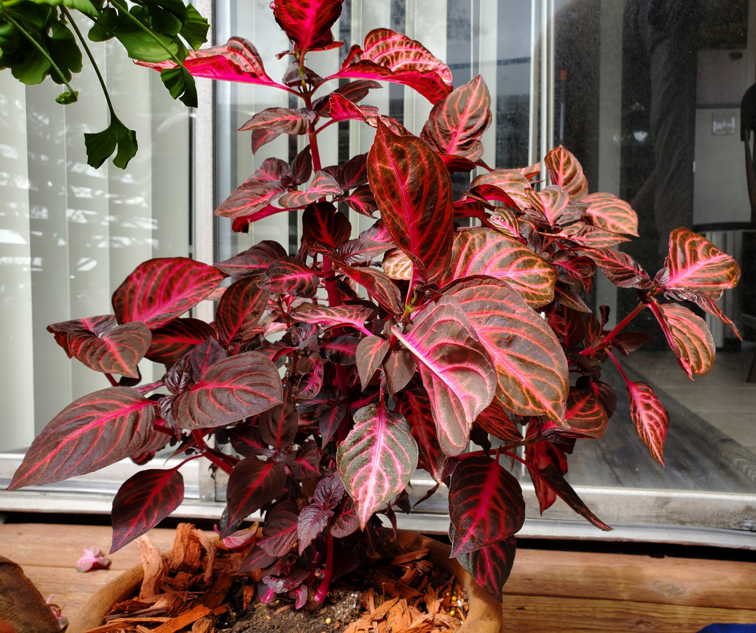 The bloodleaf is getting pretty tall!