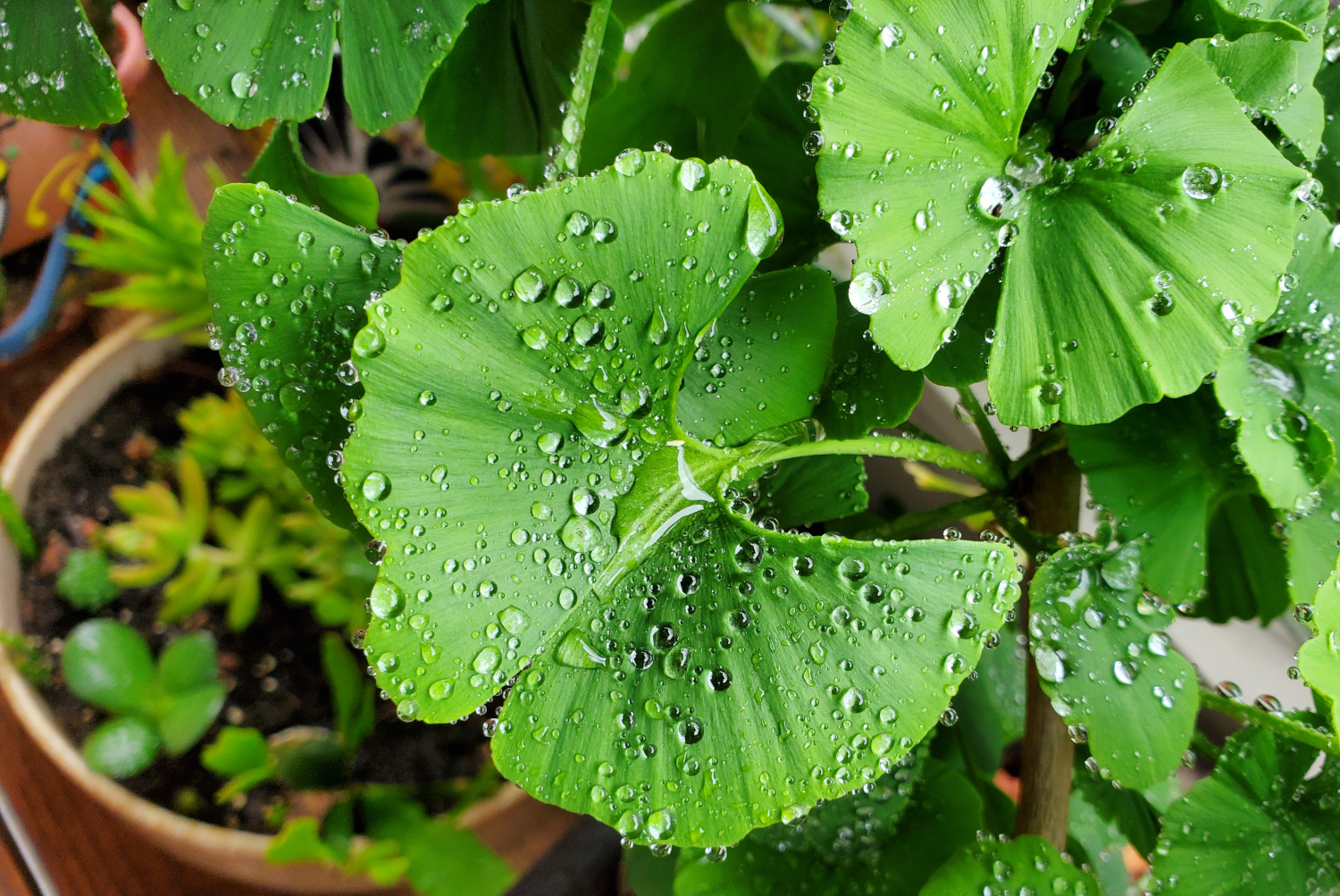 The ginkgo biloba leaves are covered in water droplets after a morning watering