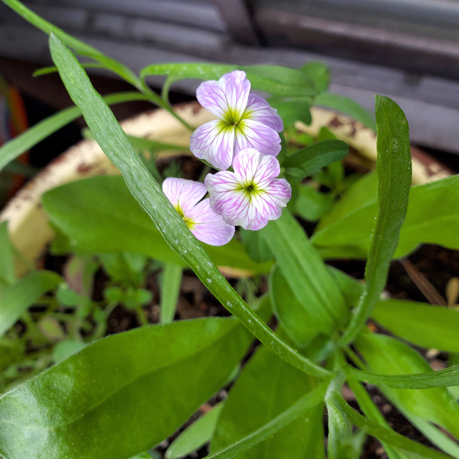 The first of the wildflowers has bloomed with a wonderful streaked purple flower