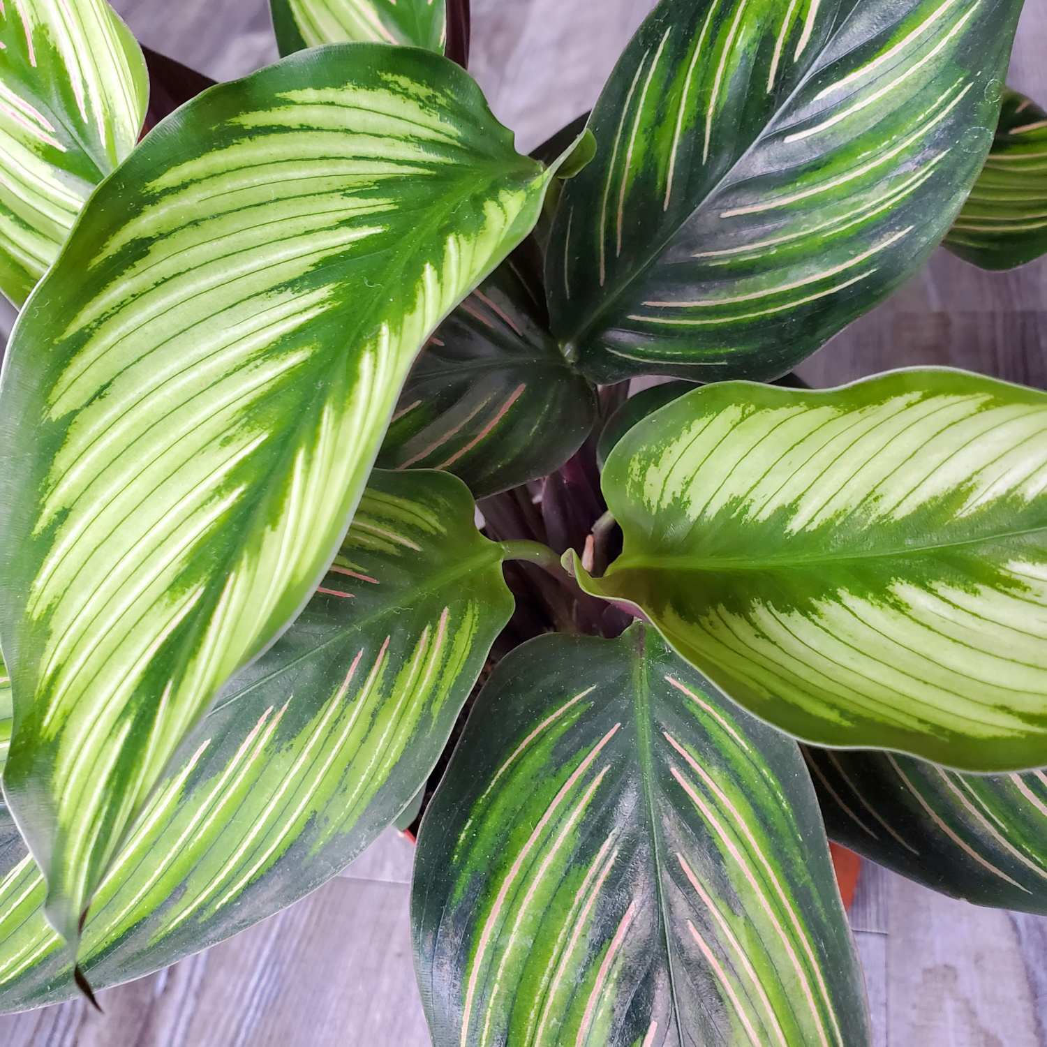 A calathea beauty star shows off its leaves