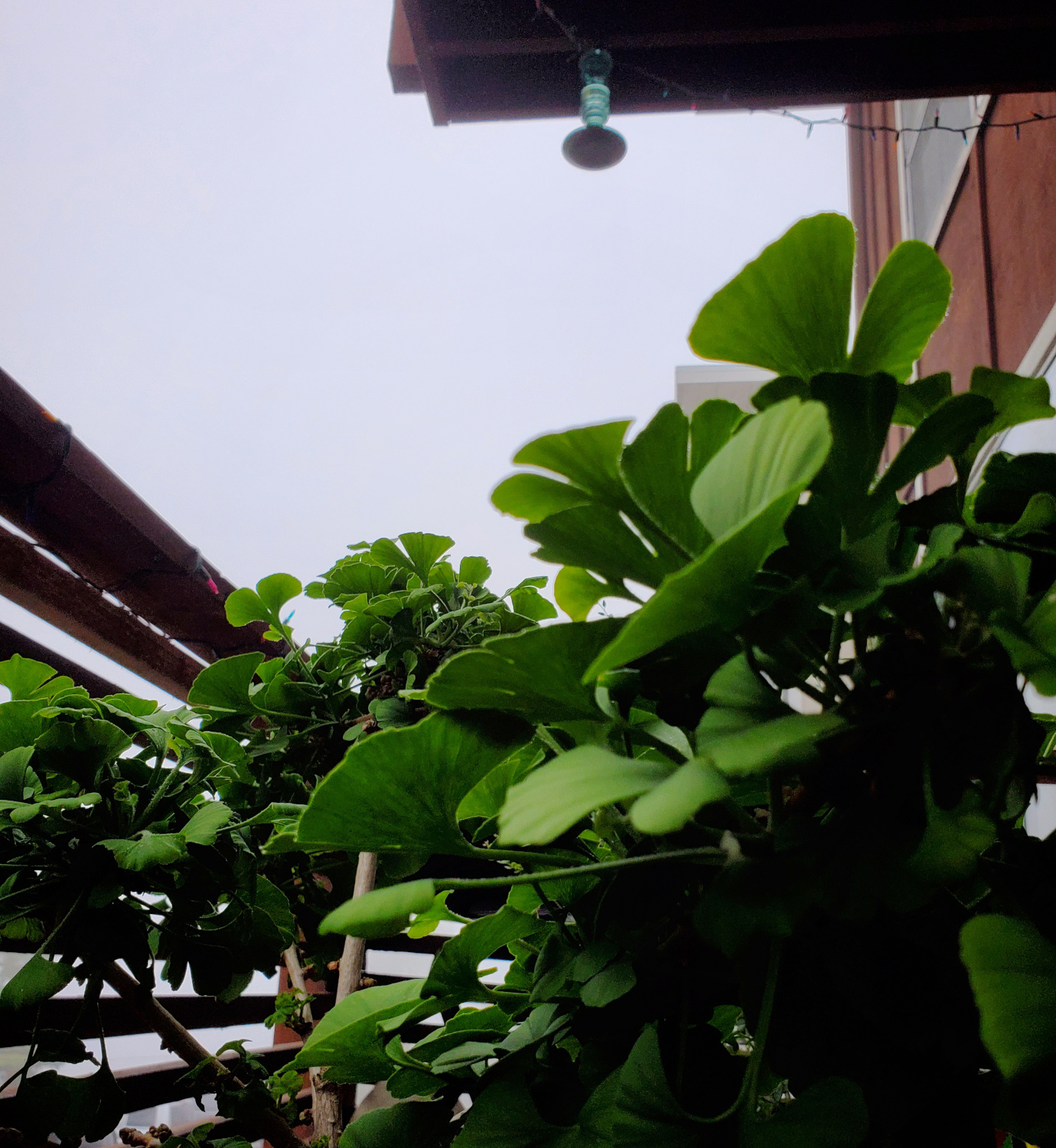 The Ginkgo is having a happy morning in the fog.