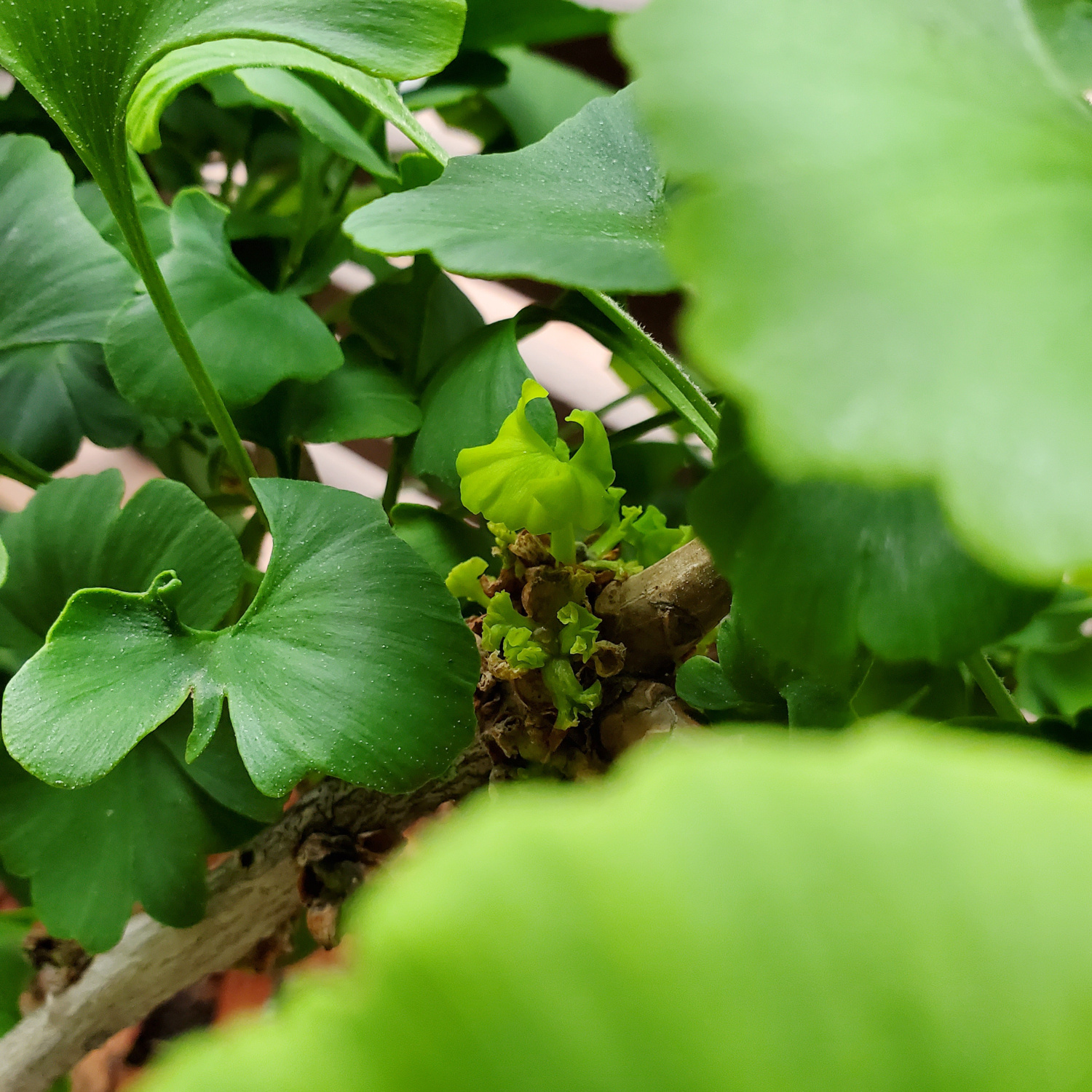 The ginkgo is putting out some new baby leaves deep under the older ones