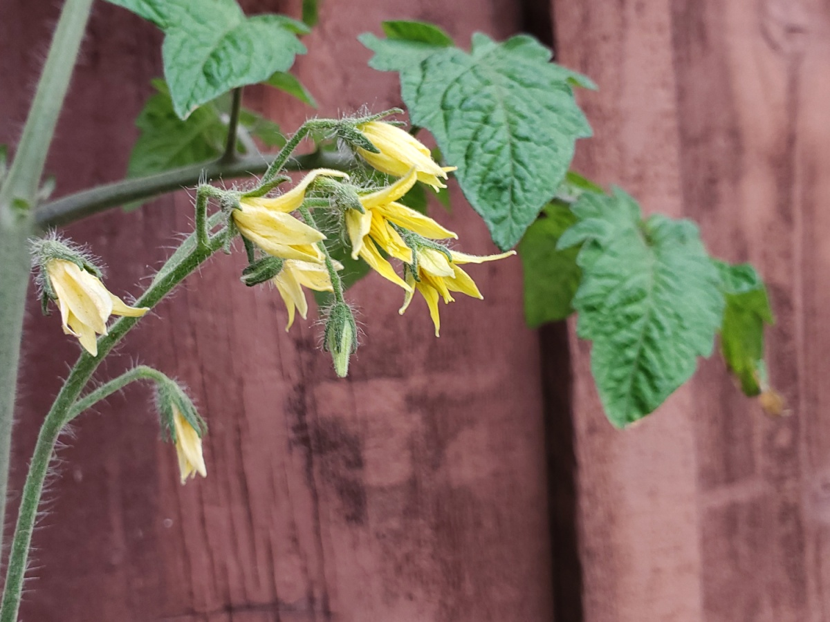The tomato plant is blooming in clusters of yellow