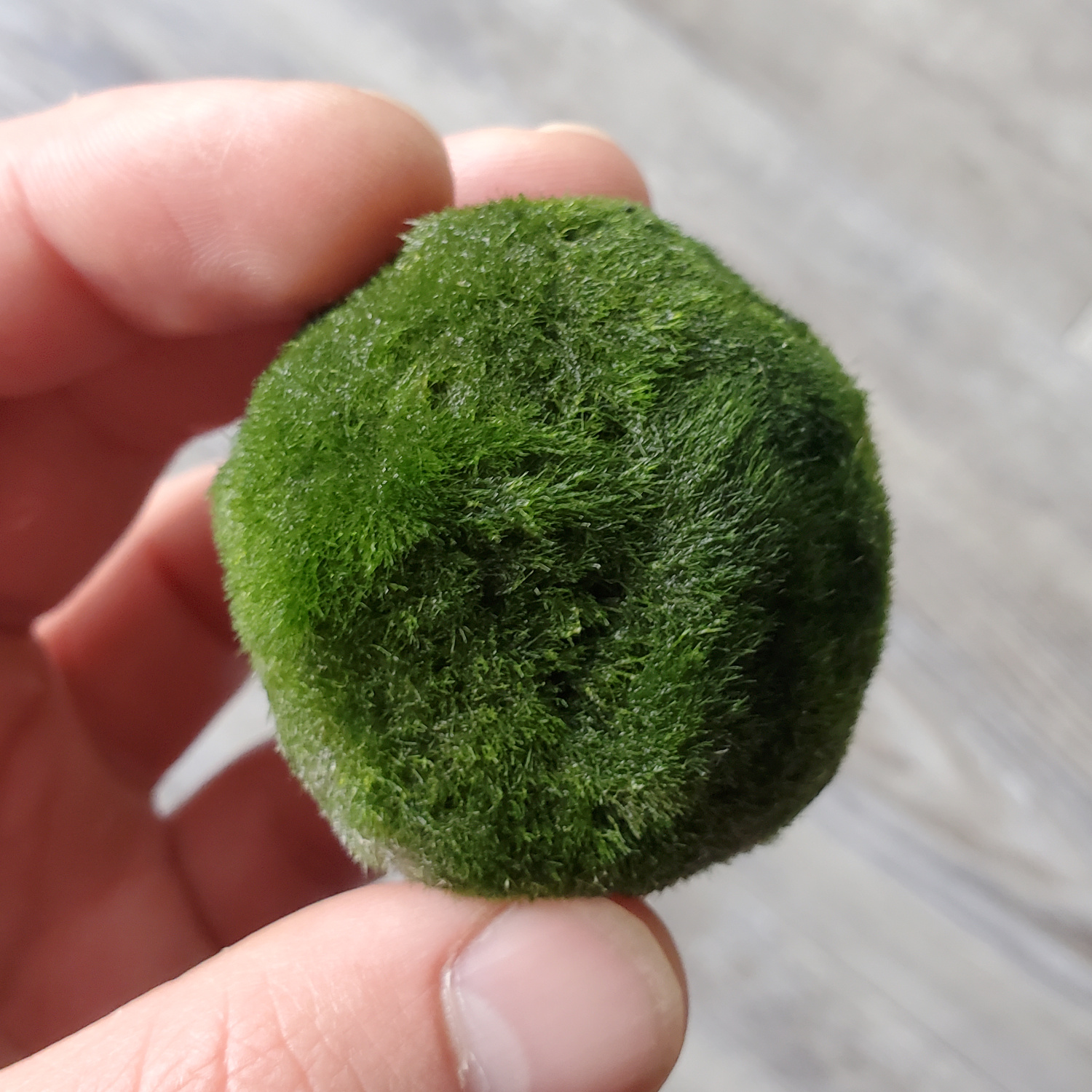 The marimo moss ball is growing happily