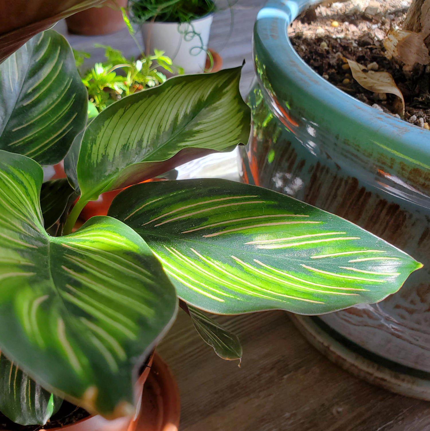 this calathea has such lovely stripes on its large leaves