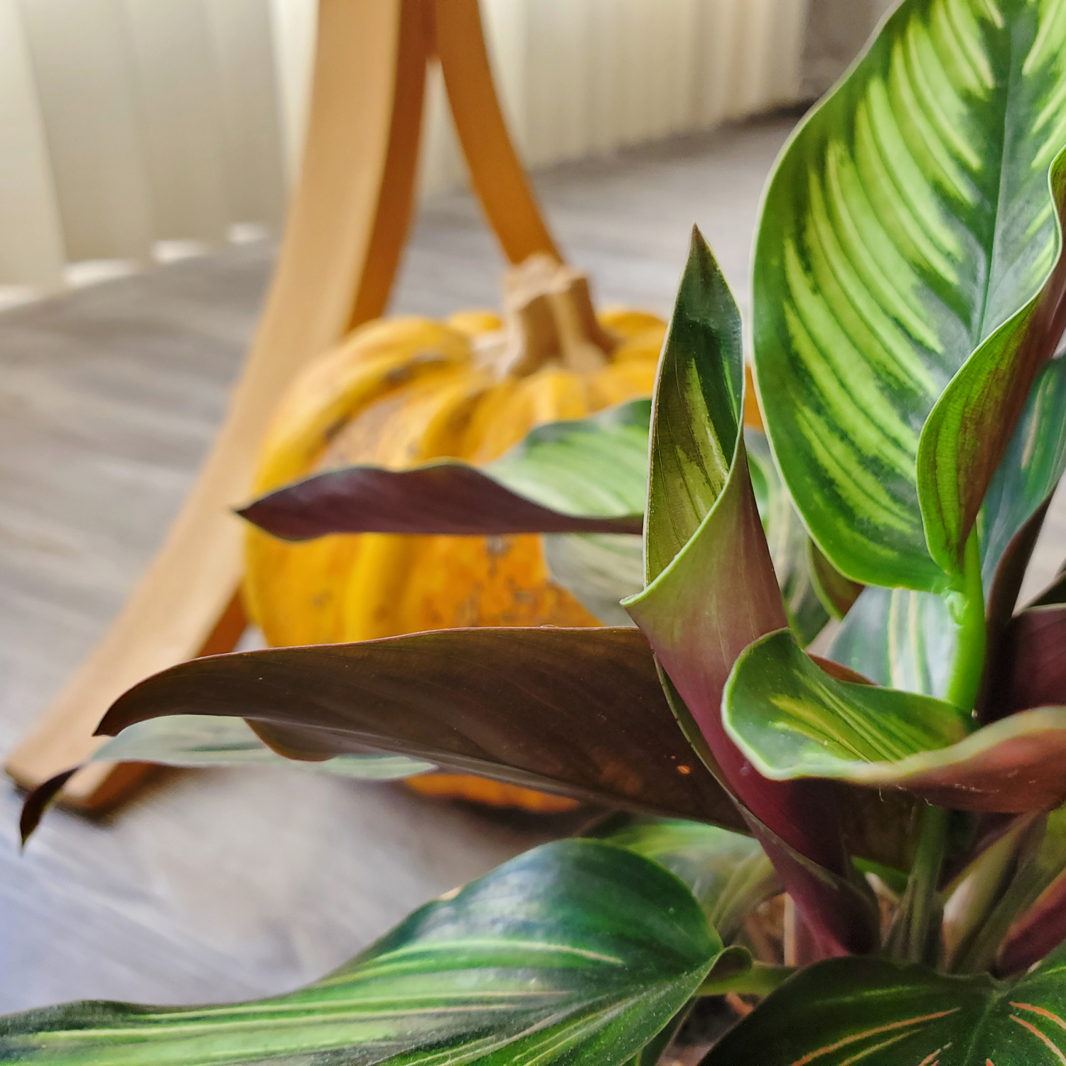 The calathea is sending out a new ear to uncurl into a big leaf