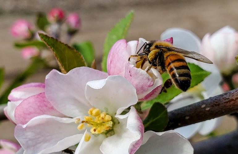 A bee climbs around on a flower at SCBG