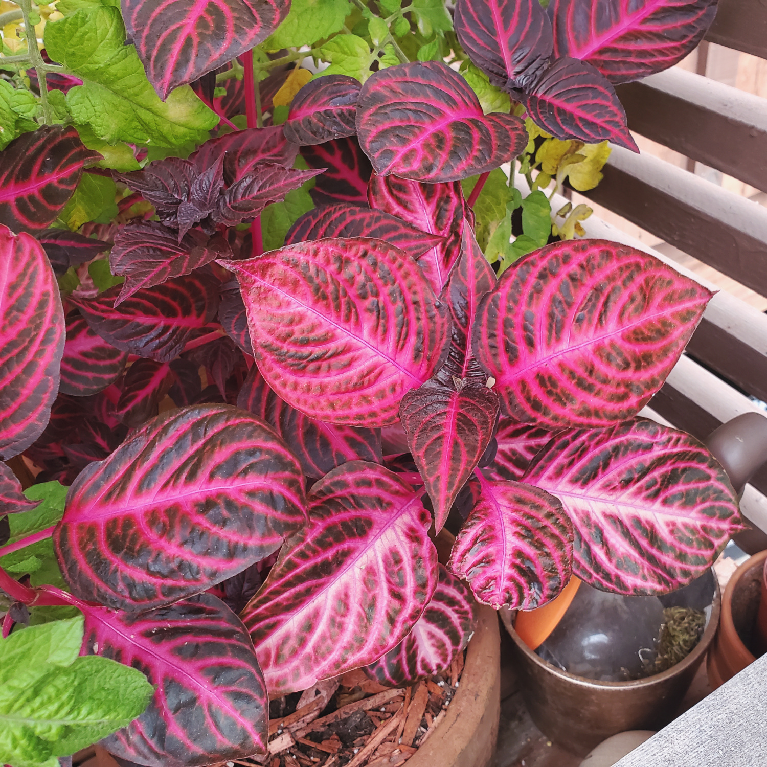 The lively bloodleaf is showing off its colors