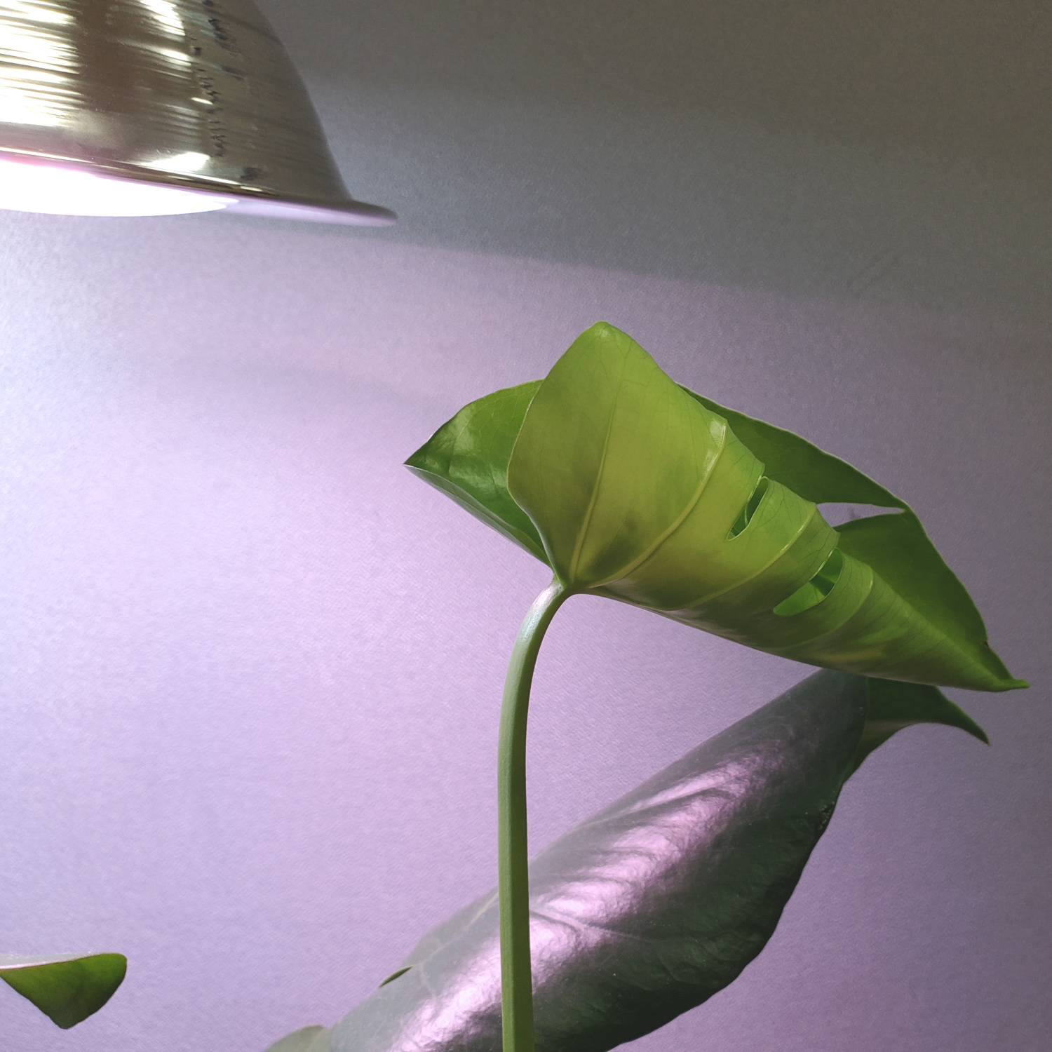 I thought this was a philodendron, but now I'm not so sure