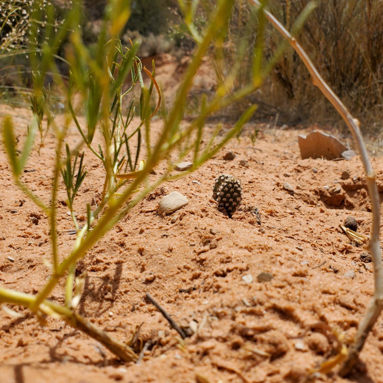 A few stalwart cacti in the desert sands of Utah