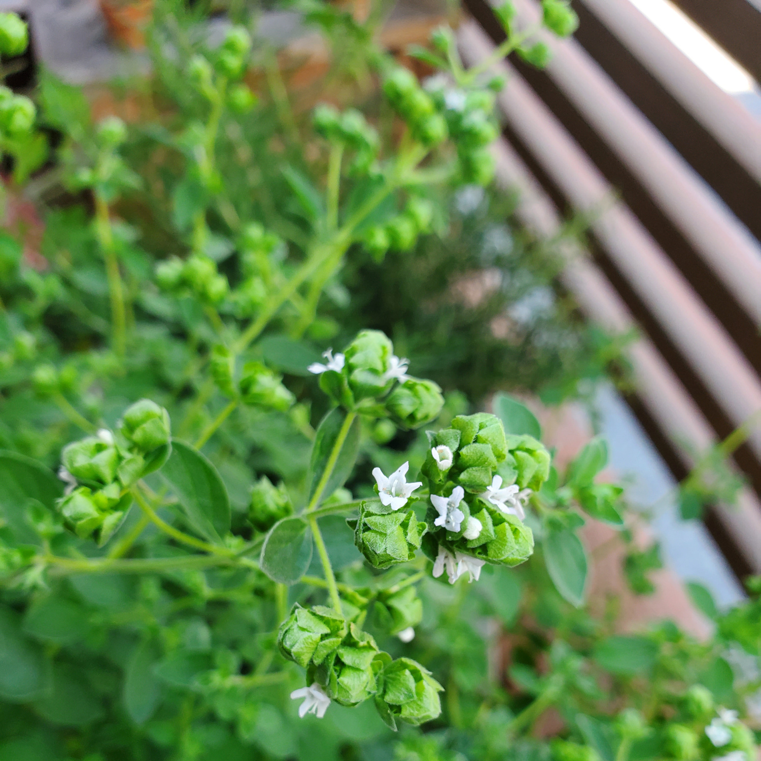 Thyme that won't stop flowering, no matter how much I prune it