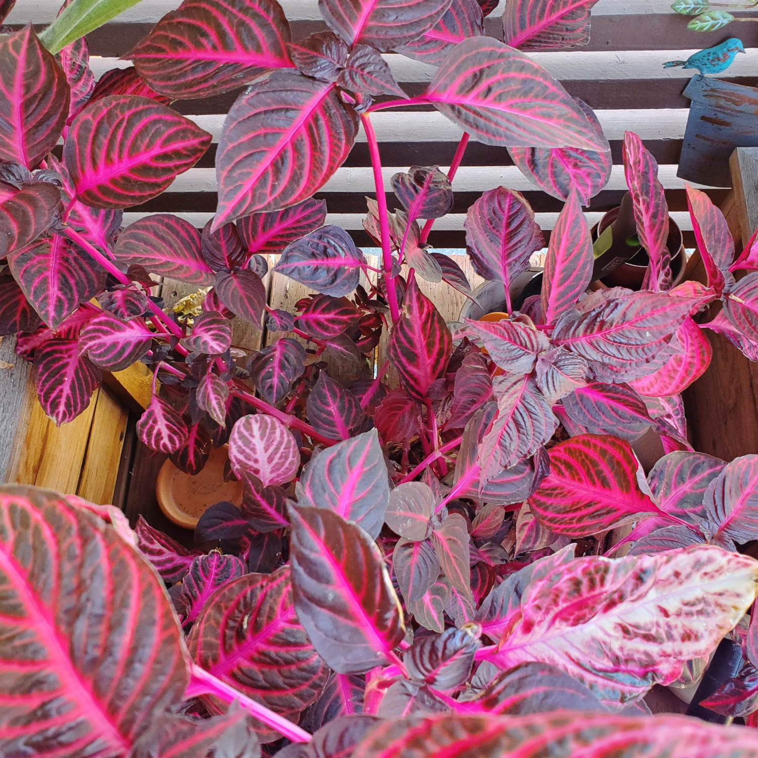 The bloodleaf has really spread out in shadowed low light