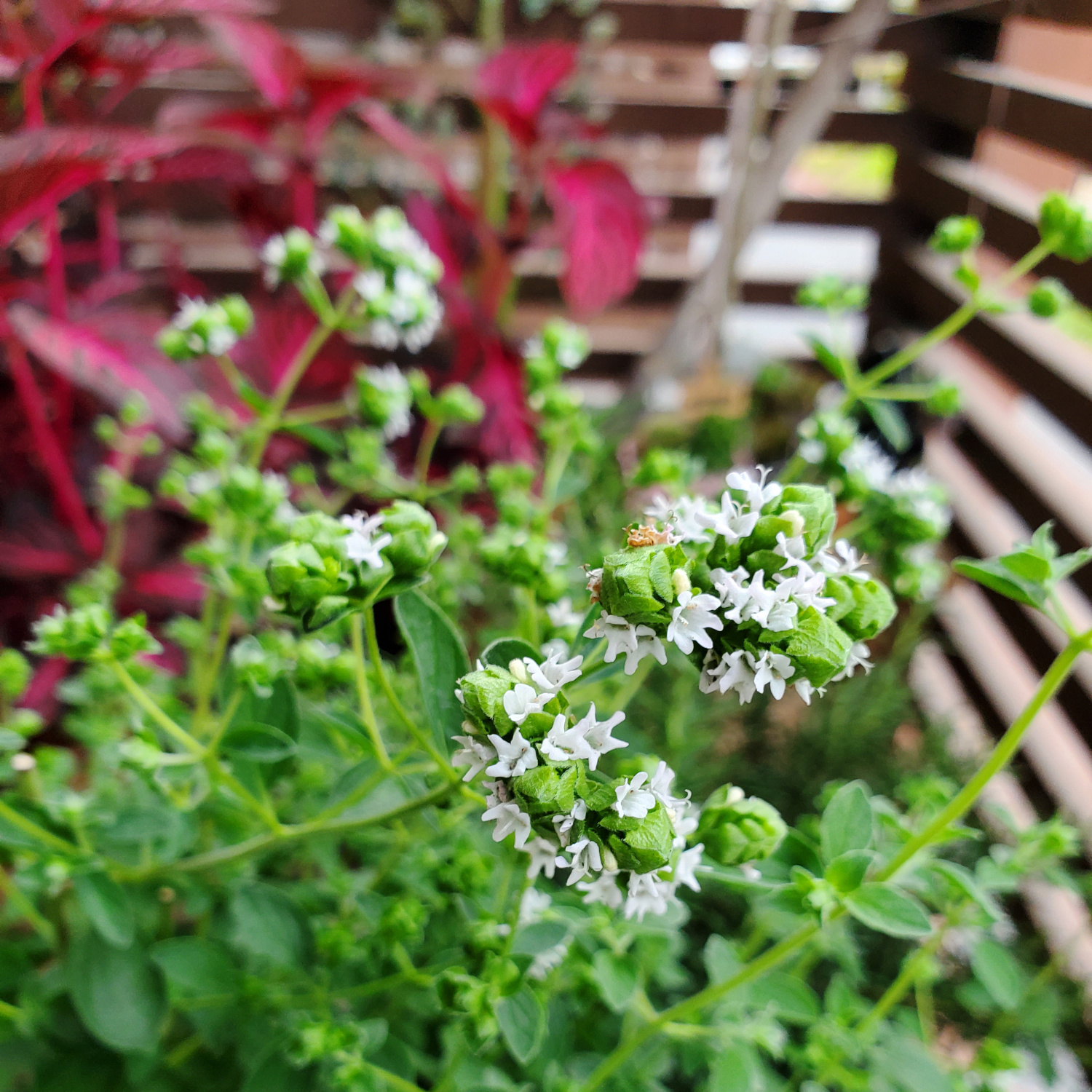 The thyme plant won't stop putting up tiny white flowers