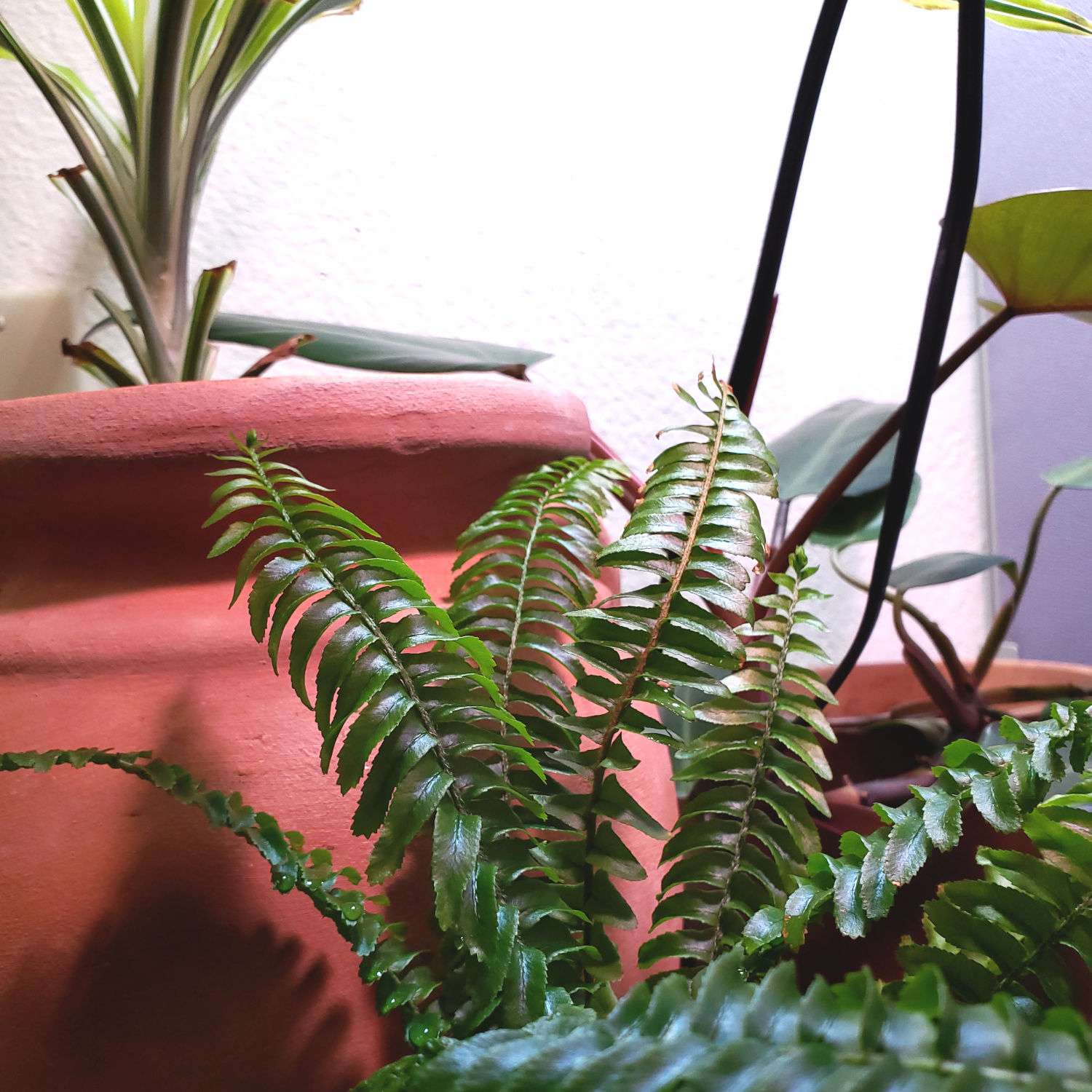 The Boston fern is growing happily under grow lights