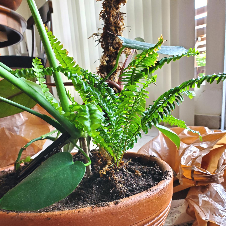 The Boston fern is a delightful bundle of feathery green