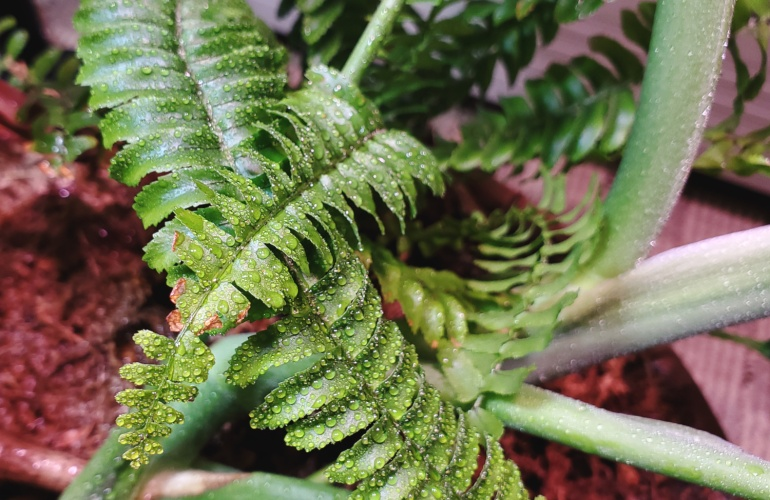 The Boston fern is glistening from a light misting