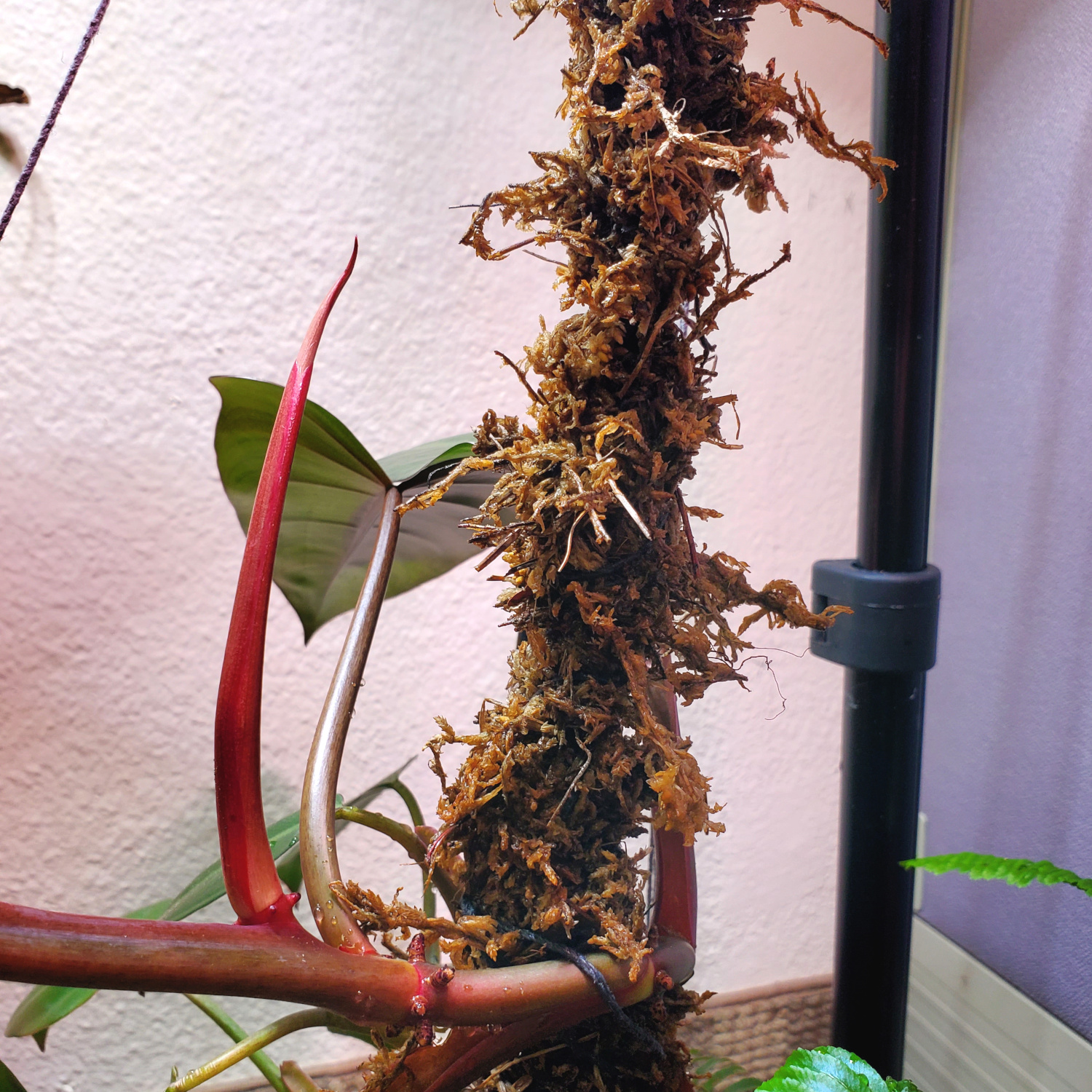 the philodendron red emerald is turning sharply upward on the moss pole