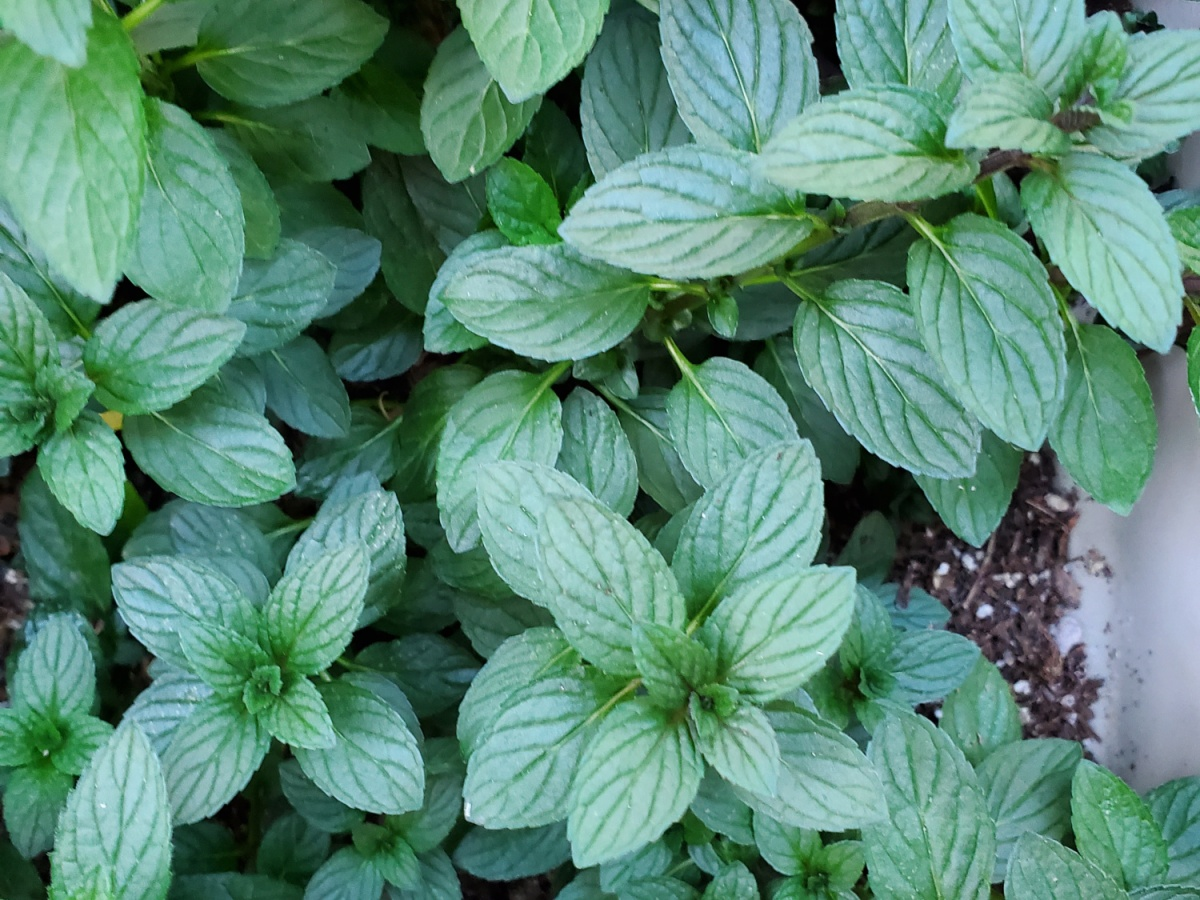 The mint has taken over a third of the planter and doesn't show any signs of stopping