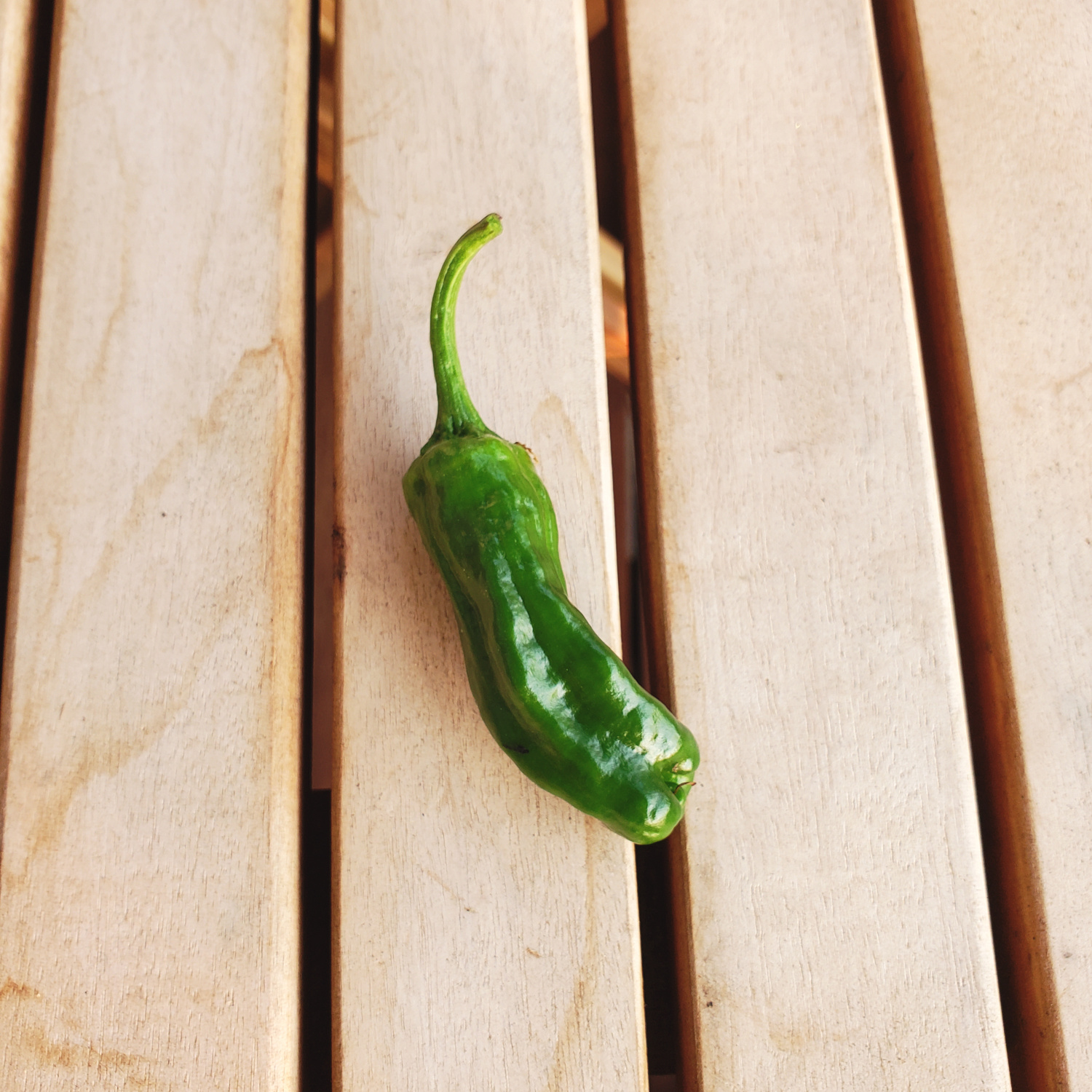 My first shishito pepper is finally ready to be eaten