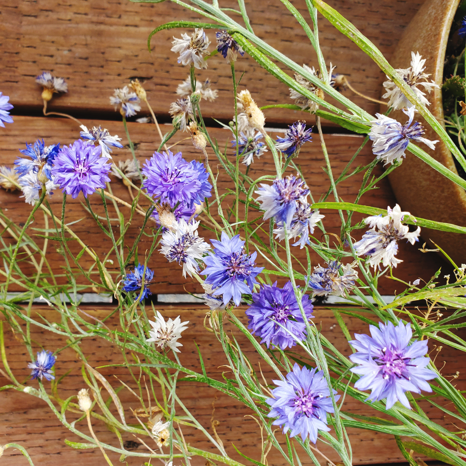 The cornflowers won't stop growing over and over