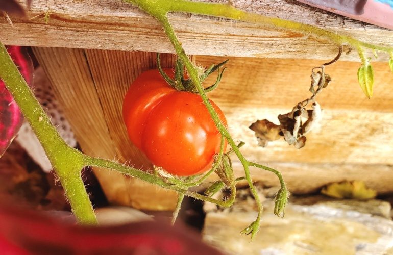 A happy tomato growing in the shade of the bloodleaf
